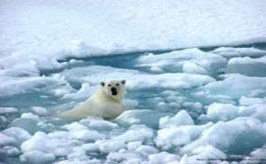 A classic picture associated with climate change: the polar bear with nowhere to call home, due to a decreasing amount of sea ice