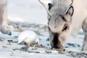 Food in the arctic is getting scarce in the winter due to freezing rain.