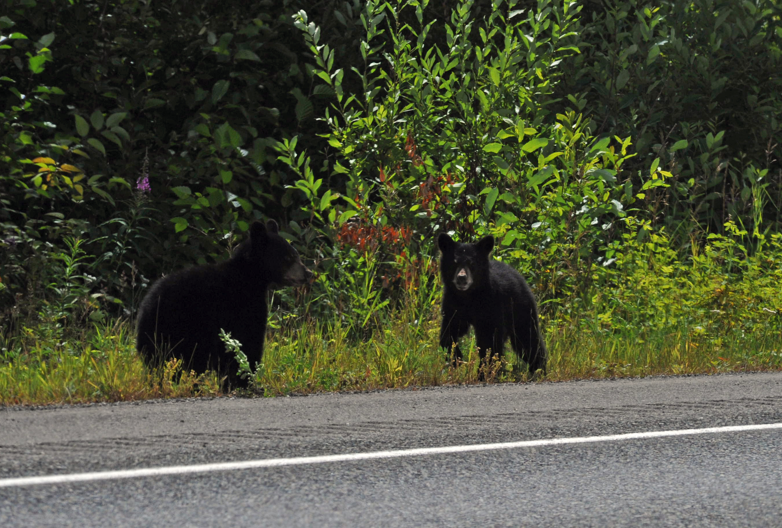 2 black bear cubs