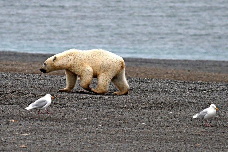 polar_bear_crop_DSC_3499