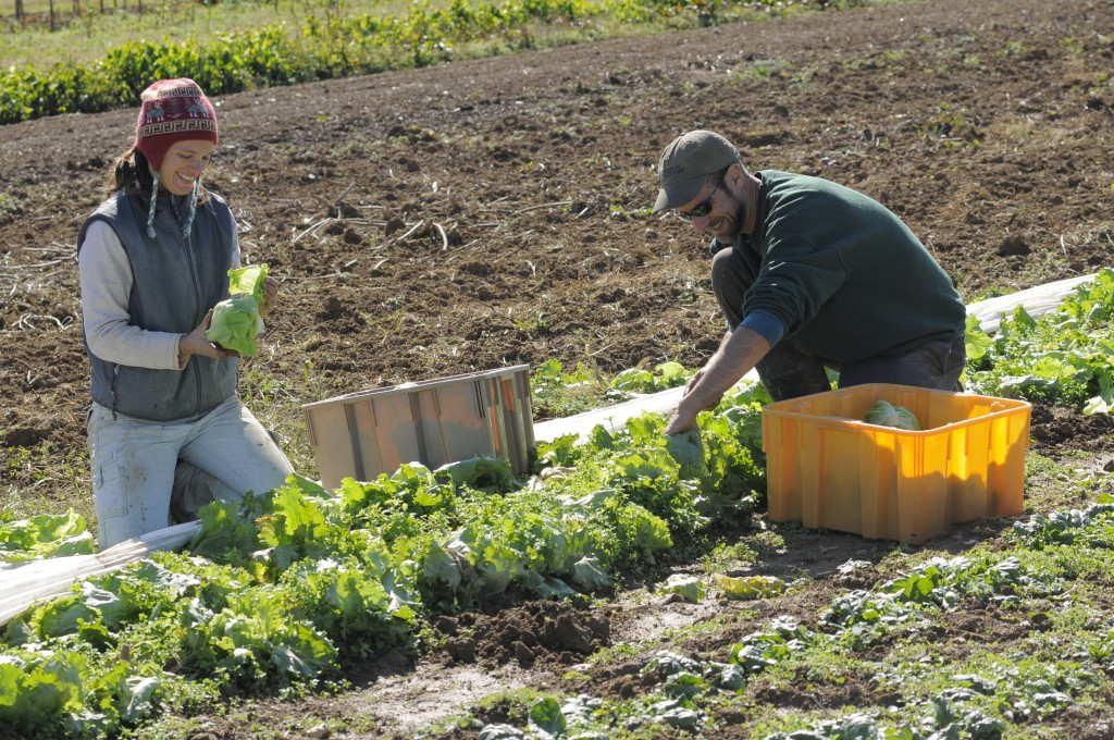 Jenn Halpin and Matt Steiman harvest produce in the fields.