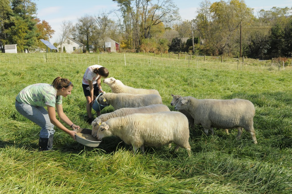 Dickinson Farm student workers feed the friendly sheep.