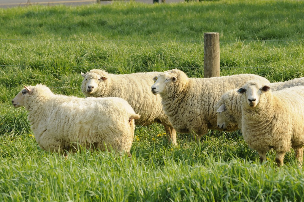 A group of sheep at the Dickinson College Farm.