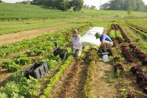 Jenn Halpin and a student worker harvest salad mix at the farm.