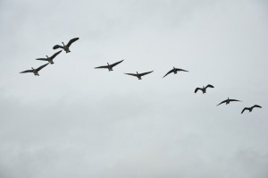 Flock of Geese at Dickinson Farm. Photo courtesy of Melinda Schlitt.
