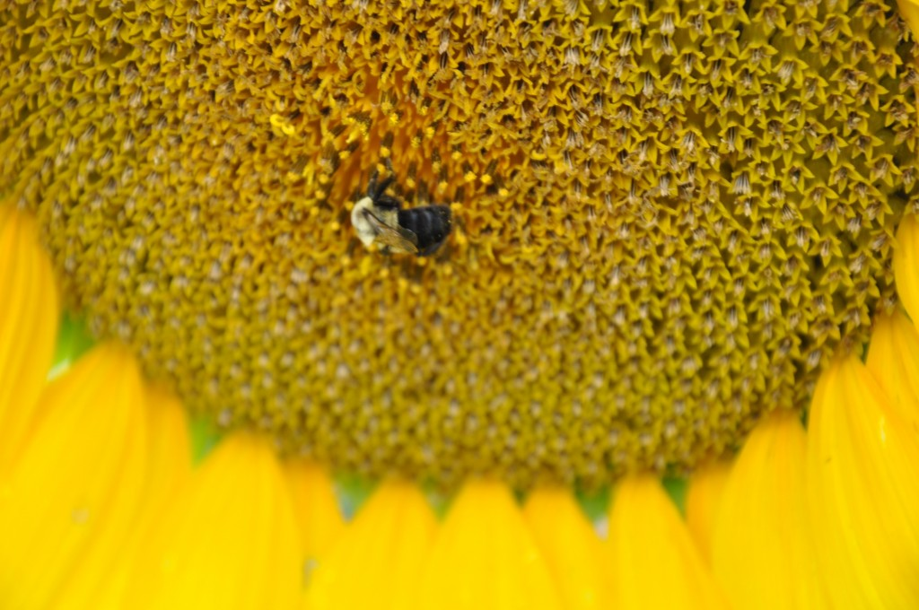 Sunflower and a bee on Dickinson Farm. Photo courtesty of Melinda Schlitt.
