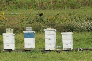 Bee hives on the farm.