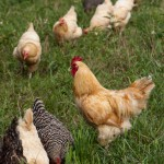Laying Hens enjoy their pasture at Dickinson Farm.