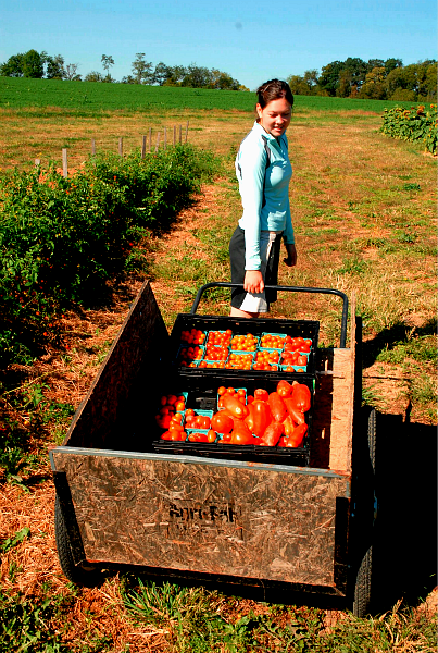 A student farmers pulls a cart of tomatoes.