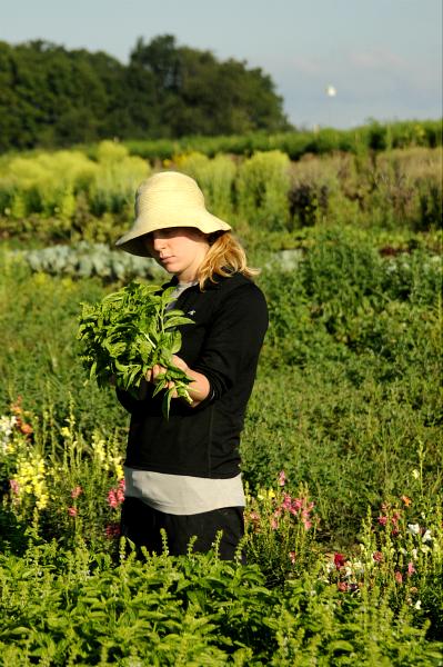 A student farmer harvest basil.