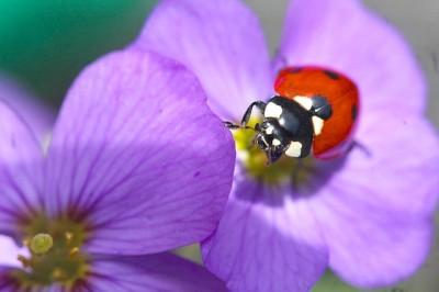 ladybug 2 - wikimedia commons