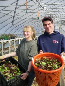 Scott Hoffman and Emily Bowie harvest mesclun salad mix in the farm's largest greenhouse.