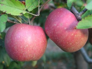Oyler's Organic Farms - York Apples