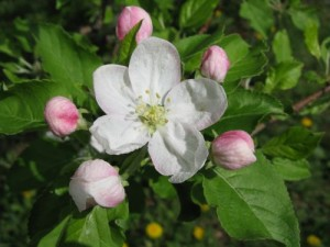 Oylers Organic Farms - Apple Blossom 2010