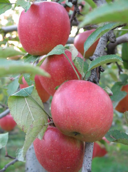 Oylers Organic Farms - Braeburn Apples