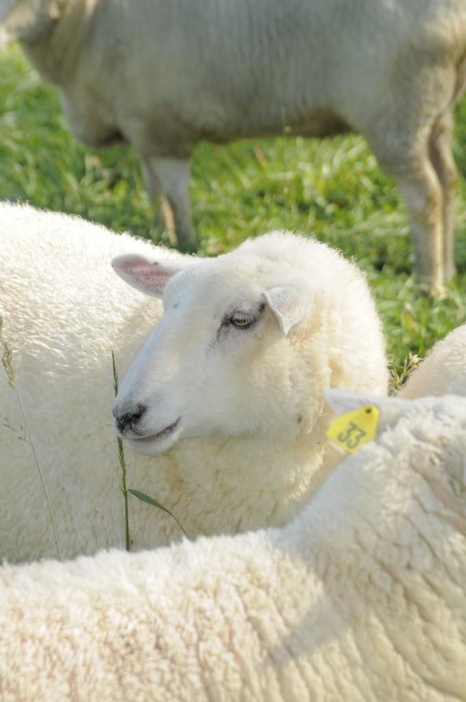 Sheep at Dickinson College Farm
