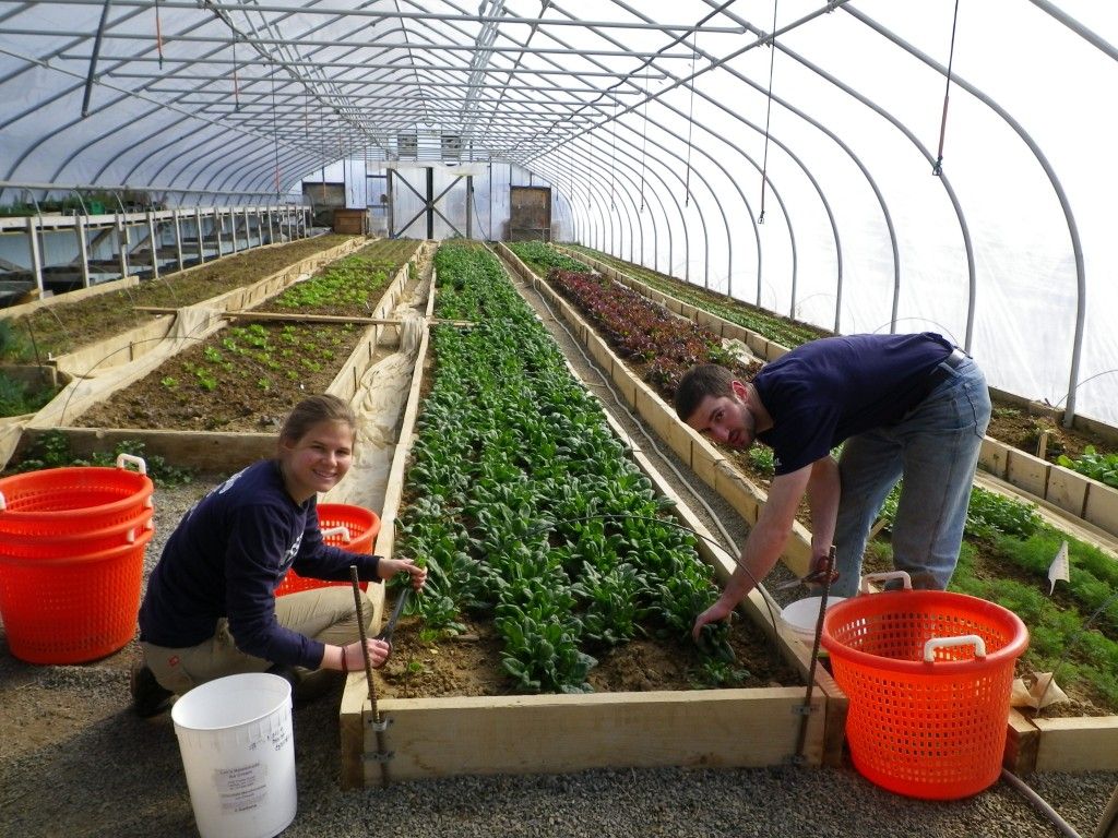 Two student workers in a greenhouse at Dickinson College Farm in Boiling Springs, PA.
