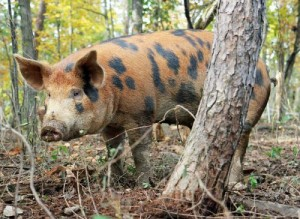 Heritage breed pig at North Mountain Pastures.