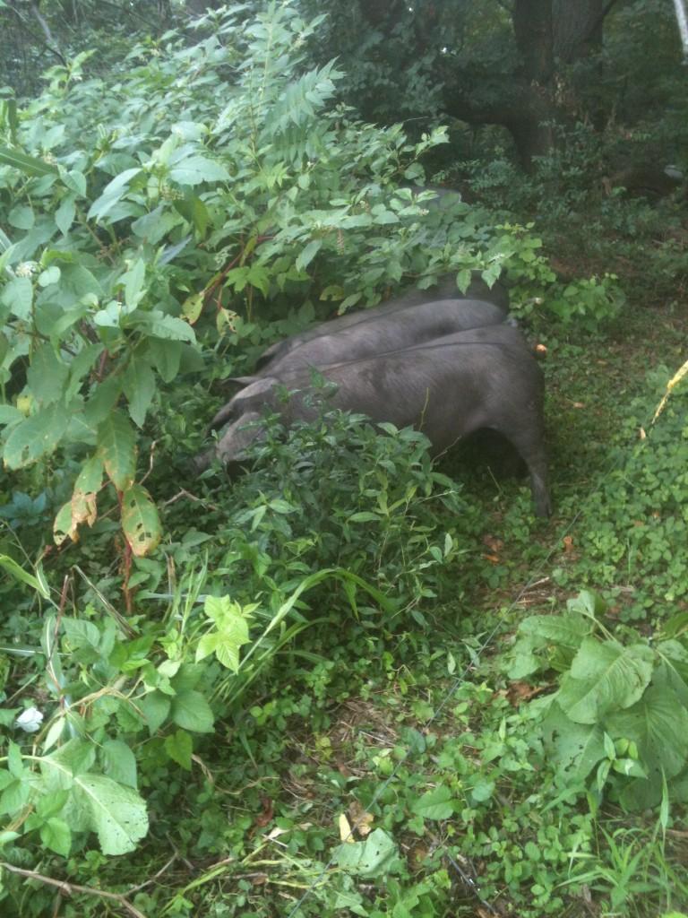 Pigs at Dickinson College Farm. Photo: Claire Persichetti