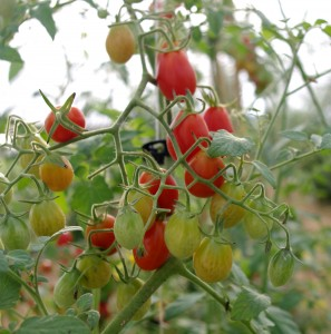 Jasmine Grape Tomatoes
