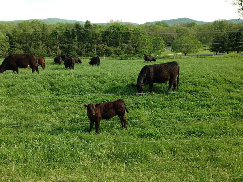 Dickinson College Farm cows and calf