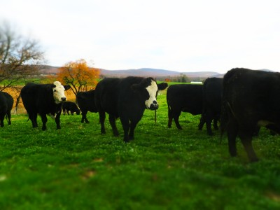 Grass-Fed Beef and Lamb Available
