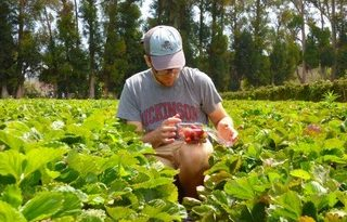Evan harvesting strawberries in a field recently. He is wearing a baseball cap and a gray Dickinson shirt
