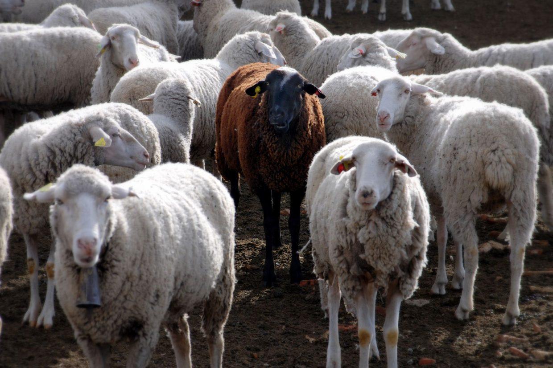 A black sheep amidst a crowd of white sheep