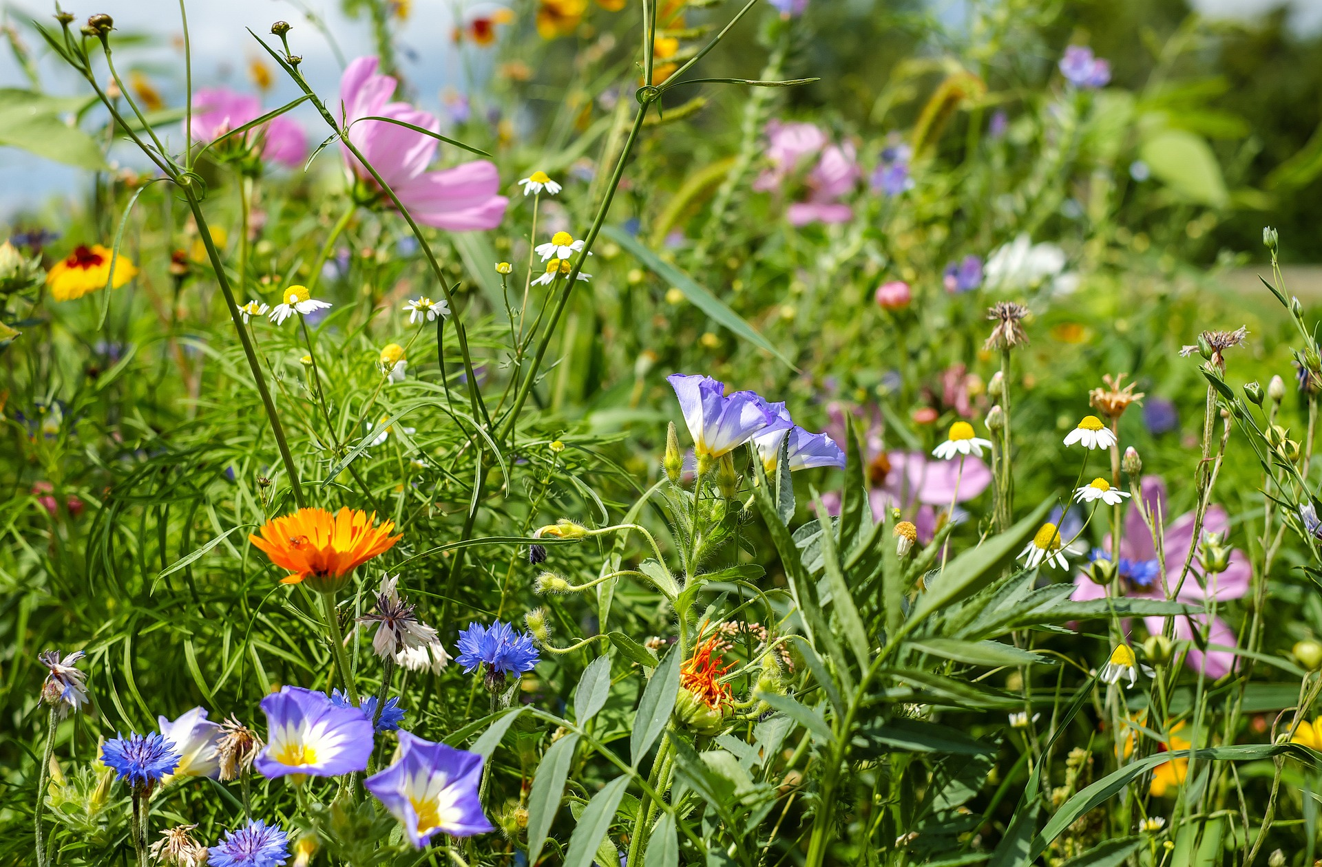 Blumenwiese field of flowers