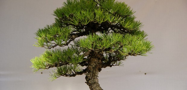 Luce Initiative on Asian Studies and the Environment Bonsai is a Japanese art form using miniature trees grown in containers. Contrary to popular thought, Bonsai is not kept miniature by […]