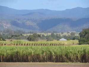 sugar-cane-field-oz-rslpix1