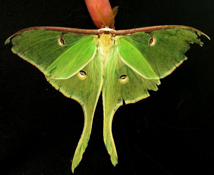 Sometimes creatures--like this luna moth--are appreciated primarily aesthetically: for their remarkable physical beauty, their incredible shapes, or sizes, or colors.