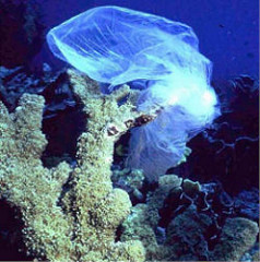 Plastic bag on Coral