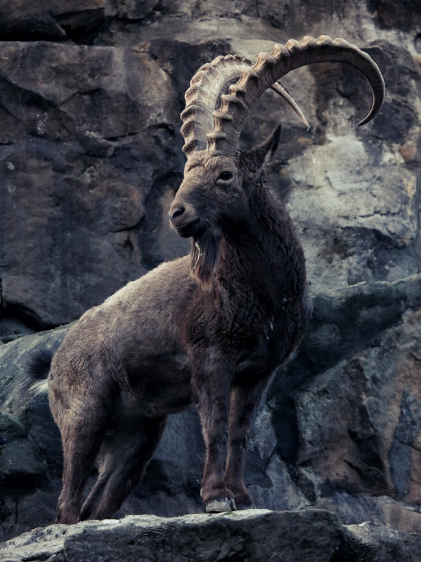 ibex © Martin Teschner (CC BY-ND 2.0) https://creativecommons.org/licenses/by-nd/2.0/