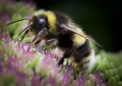 bubmblebee